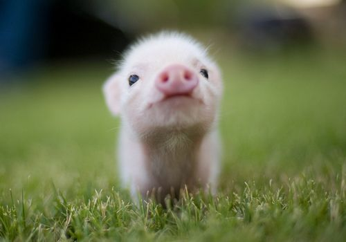 I love these little tea cup pigs. I just found out that you can get pigs that stay small. I would never want a huge one because it isn't nearly as cute.