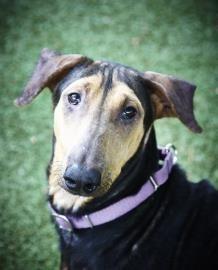 Meet Roosevelt A Petfinder Adoptable Doberman Pinscher Dog Fort