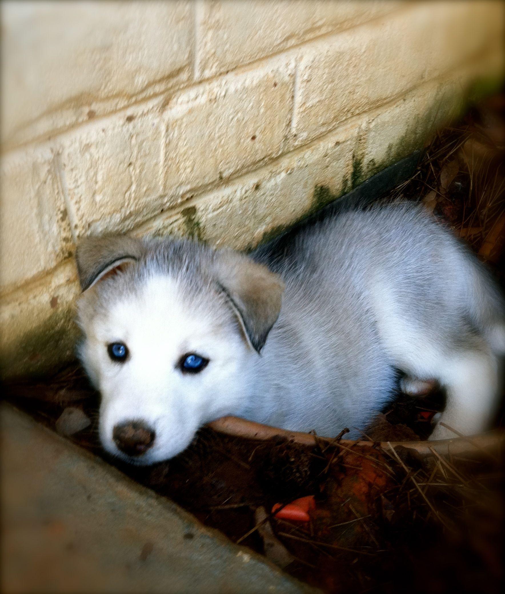 Husky Puppy Puppies Husky Puppy Little Husky