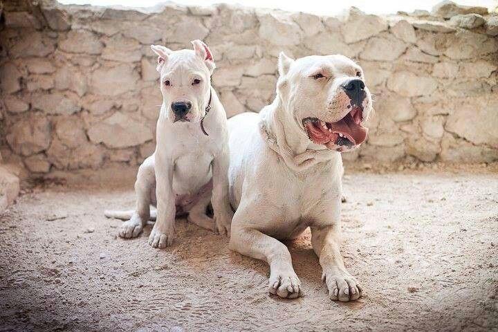 Dogo Argentinos Dog Argentino Mastiff Breeds Dog Breeds