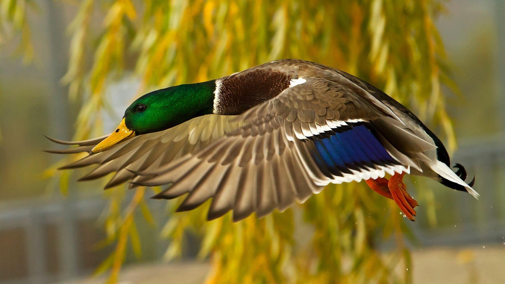 Mallard | All Wild Ducks and Waterfowl! | Pinterest | Mallard, Bird ...