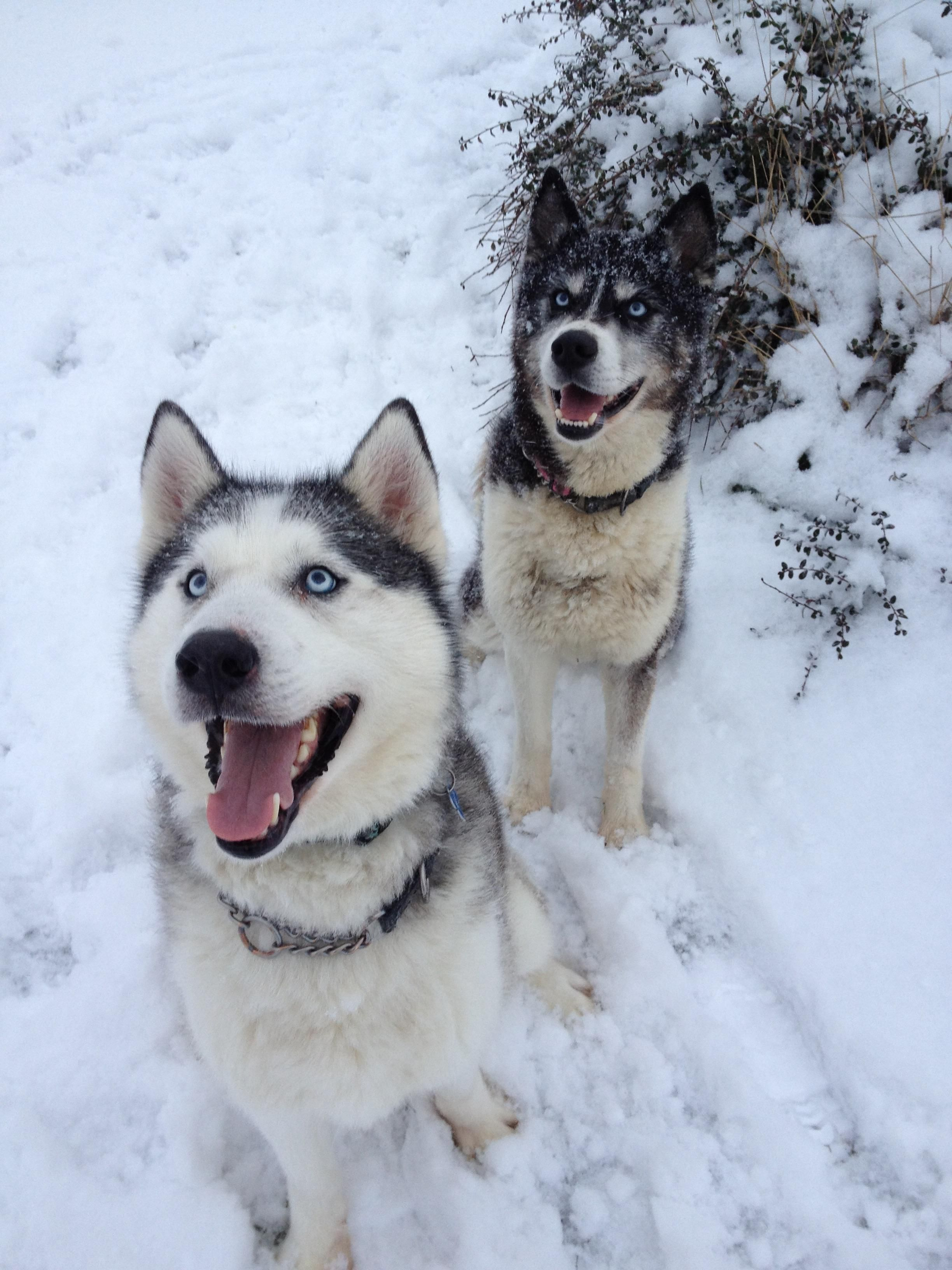 My 2huskies Holly At The Back Is 13yrs Old Sadly Wolfie Died In
