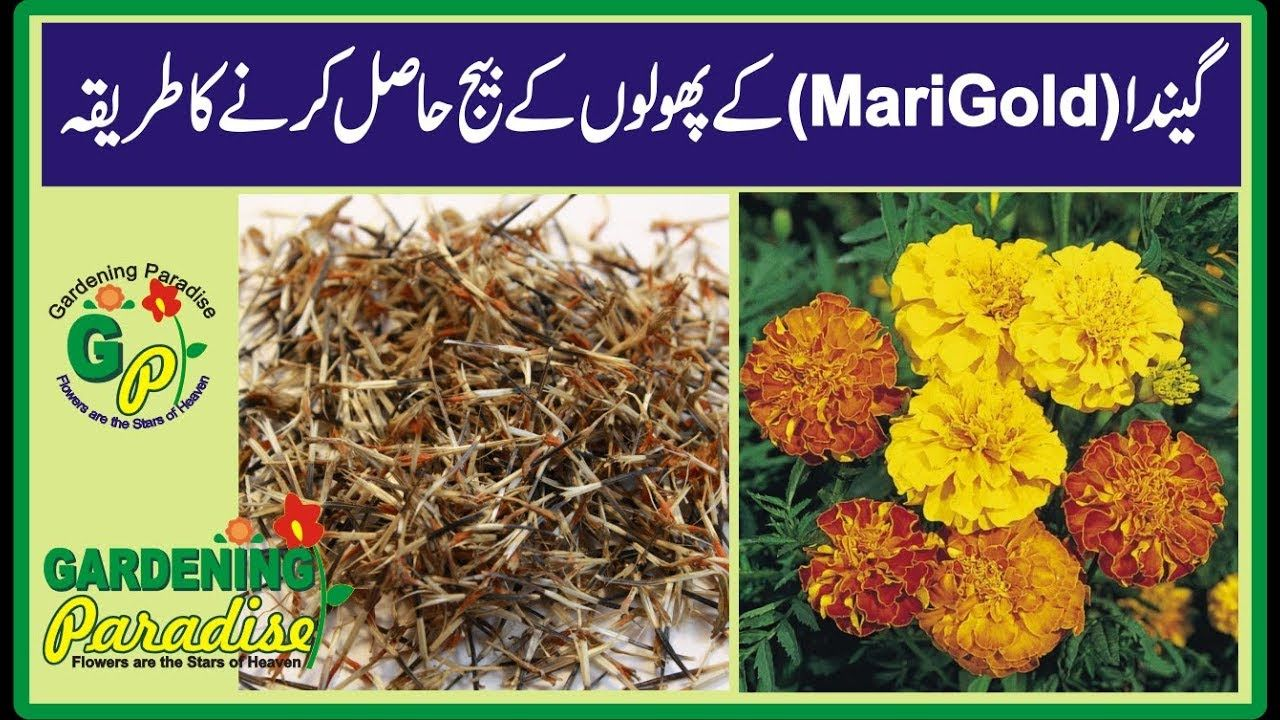 How to Harvest Marigold Seeds Collecting Seeds from