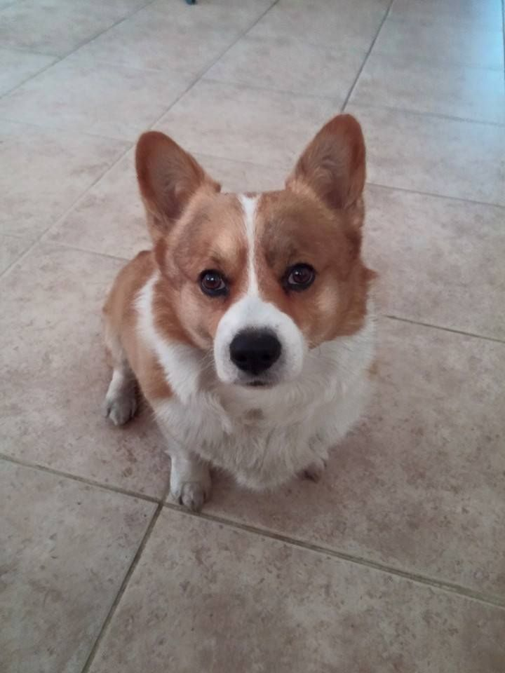 I Let Him Outside And Went To Go Change I Left Him Unsupervised For 5 Mins When I Asked Him What Did He Just Do He Said I Di Crazy Corgi