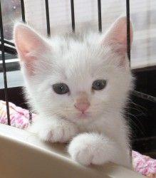 Adopt Alexandra On Cats Short Hair Cats Kittens