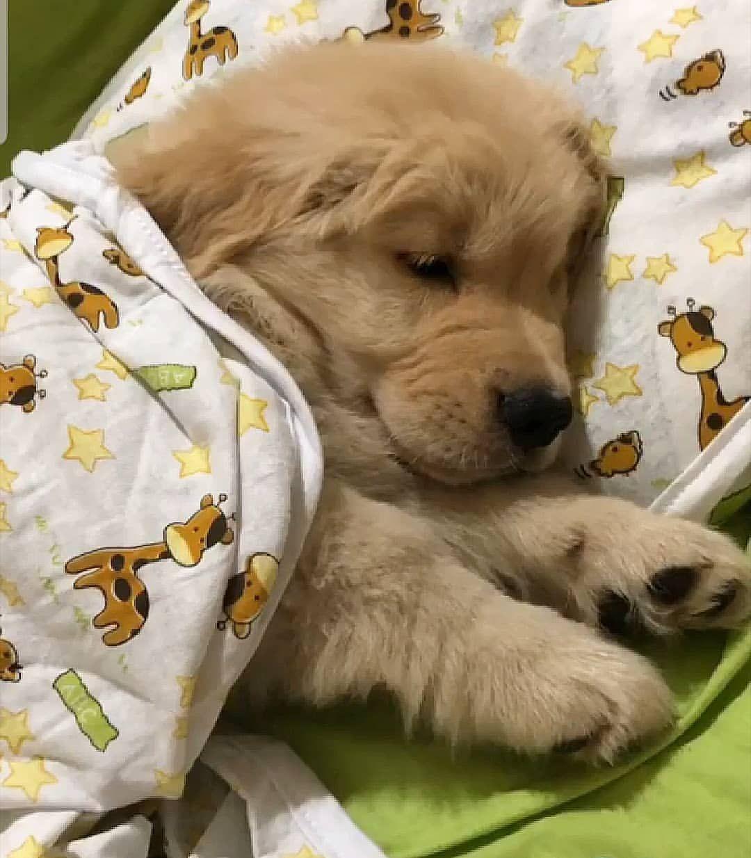 Good Night Goldenuniversecanil Cute Animals Cute Dogs Really Cute Puppies