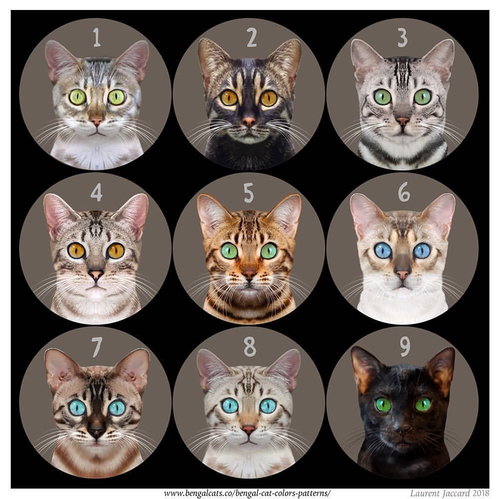 Can You Identify These Bengal Cat Colors By Laurent Jaccard Bengalcats Co Catbreeds Cat Colors Bengal Cat Bengal Kitten