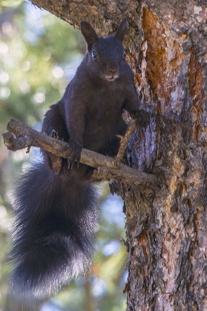 Abert squirrels (Sciurus aberti) live exclusively in Ponderosa trees at Rocky Mountain National Park - CO, USA.