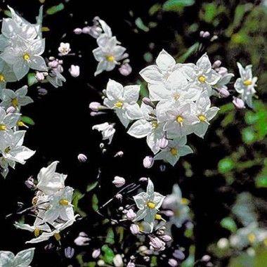 le solanum est un arbuste de taille moyenne tr s cultiv pour ses fleurs fines anth res jaunes. Black Bedroom Furniture Sets. Home Design Ideas