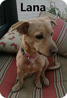 Chandler Az Corgi Dachshund Mix Meet Lana A Dog For Adoption