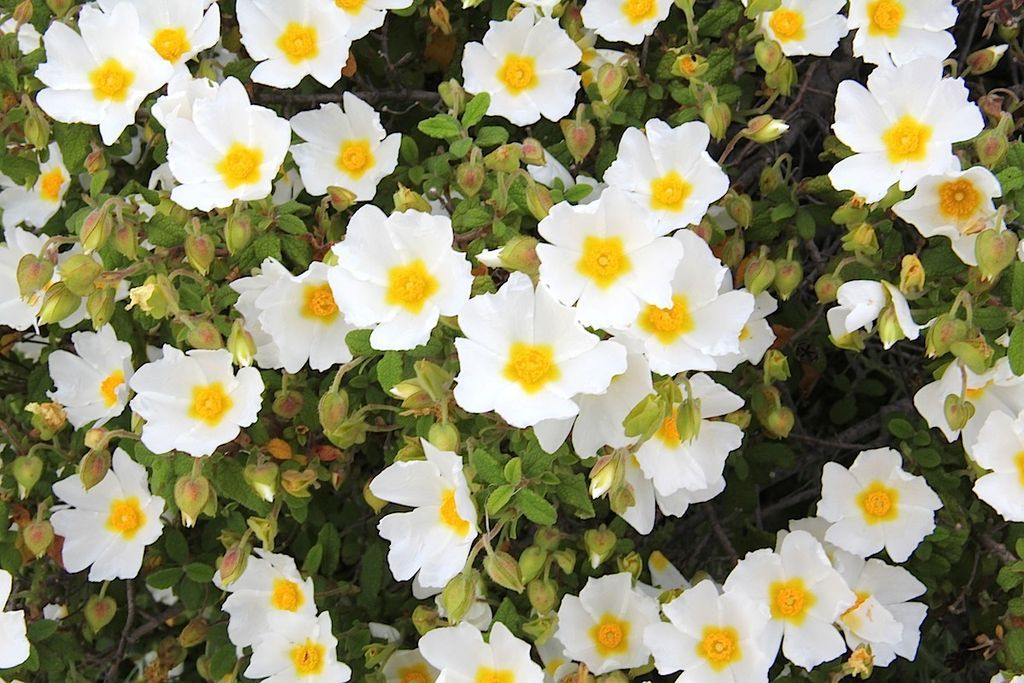White, rose-like flowers with yellow centres. these flowers are ...