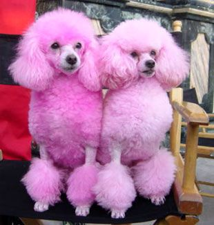 Pink puffy Poodles