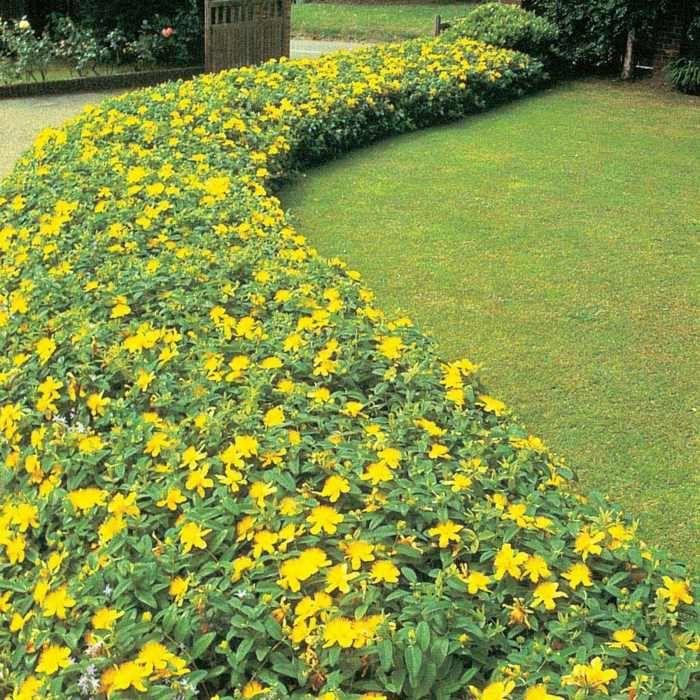 Johanniskraut-Pflanzen im Garten in Gruppen zusammenstellen Was - kies garten gelb