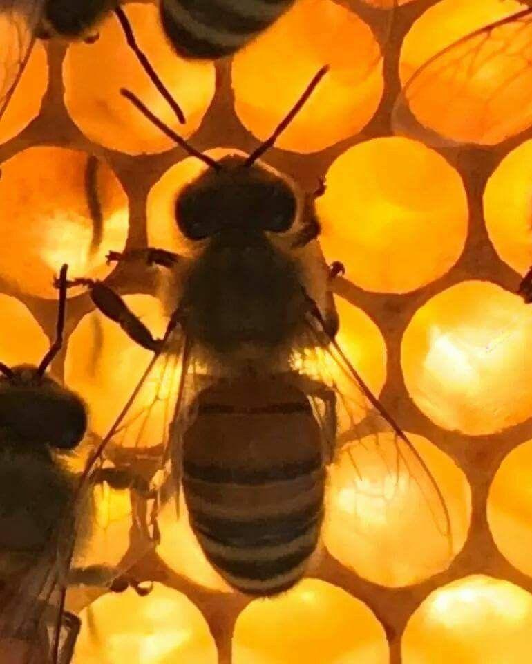 Pin de Rober VS en Abejas-Bees/Apicultura-Beekeeping/Miel-Honey ...
