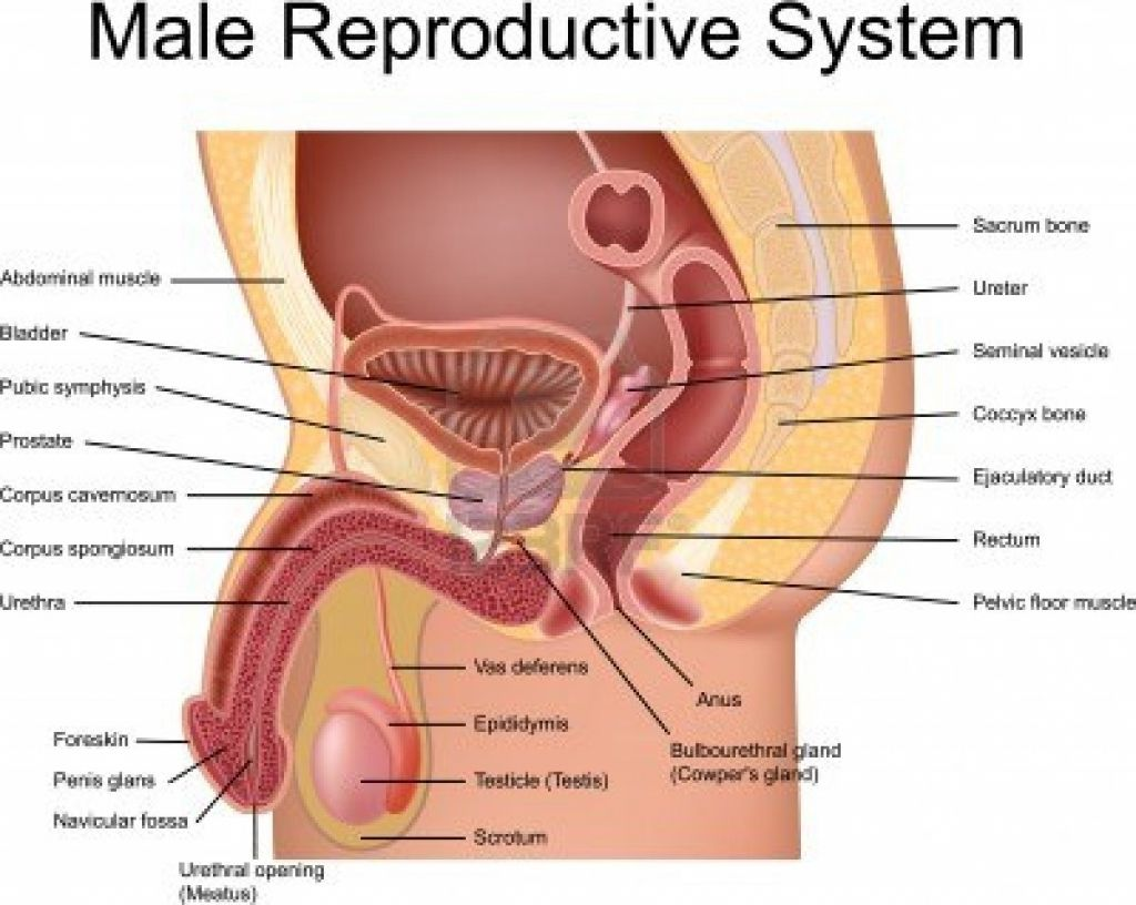 small resolution of male human anatomy diagram male human anatomy diagram male body parts images male body anatomy