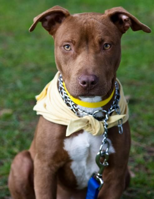 Brown Chocolate Female American Pitbull Terrier Dog Picture