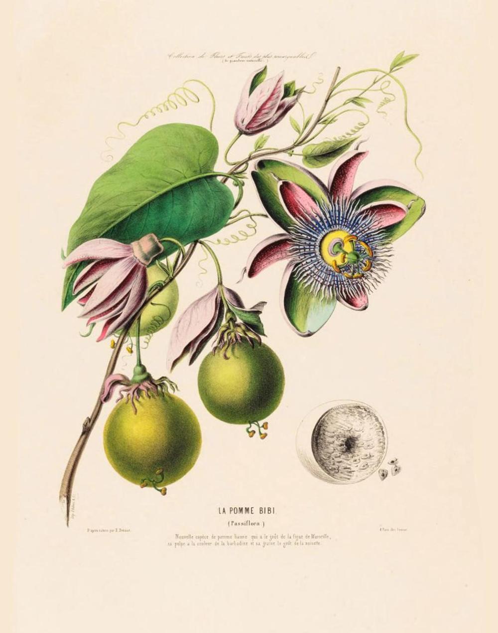 Antique French Botanical Print Pomme Bibi Passiflora Passion Etsy In 2020 Botanical Prints French Illustration Flower Illustration