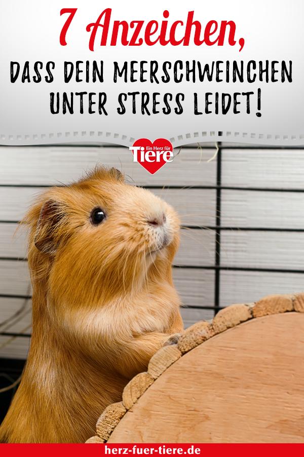 Stress kann auch bei Meerschweinchen schwere