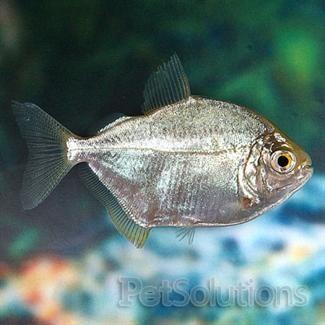 Silver Dollar Tetra Freshwater Fish Fresh Water Fish Tank Live Freshwater Fish