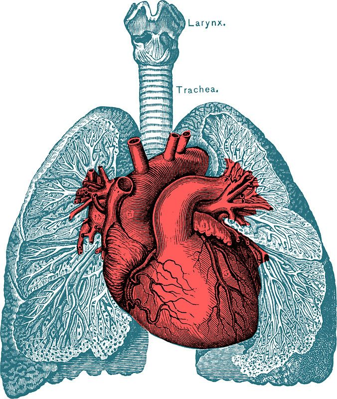Red Heart And Lungs Human Anatomy Art Sticker By Prrint Human