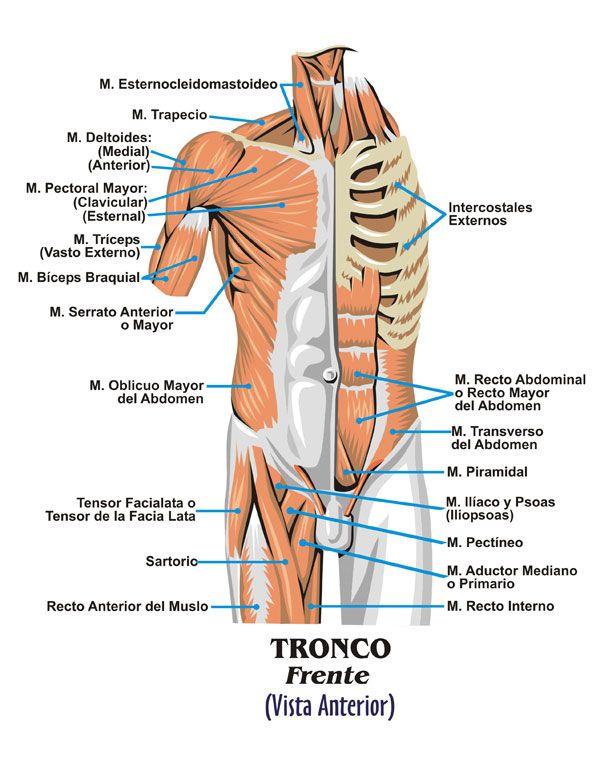 Músculos torso | Dibujo | Pinterest | Músculos, Músculo esquelético ...