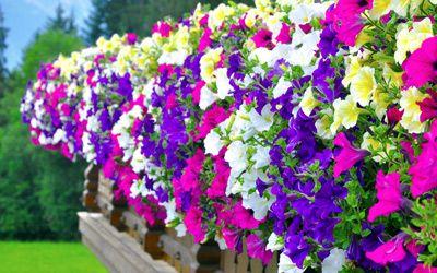 die 5 sch nsten h ngepflanzen f r den balkon flower arrangements pinterest der balkon. Black Bedroom Furniture Sets. Home Design Ideas
