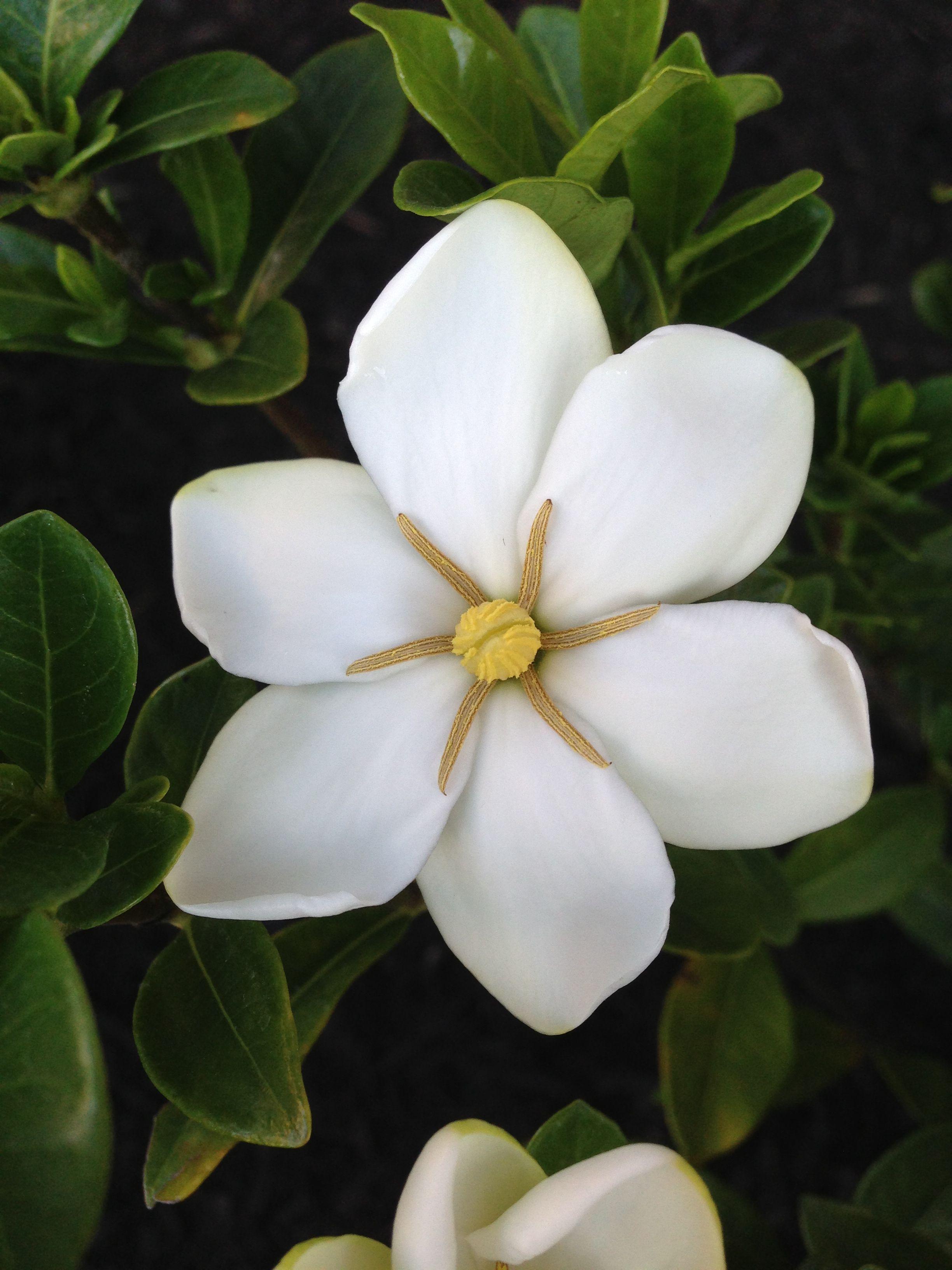 Daisy Gardenia Produces An Abundance Of Fragrant Single Daisy Like