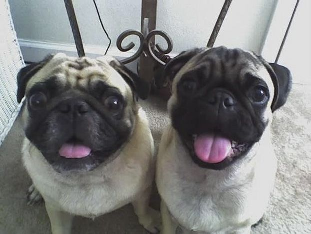 Baxter And Harper Pugs From Birmingham Alabama Best Dogs Dogs