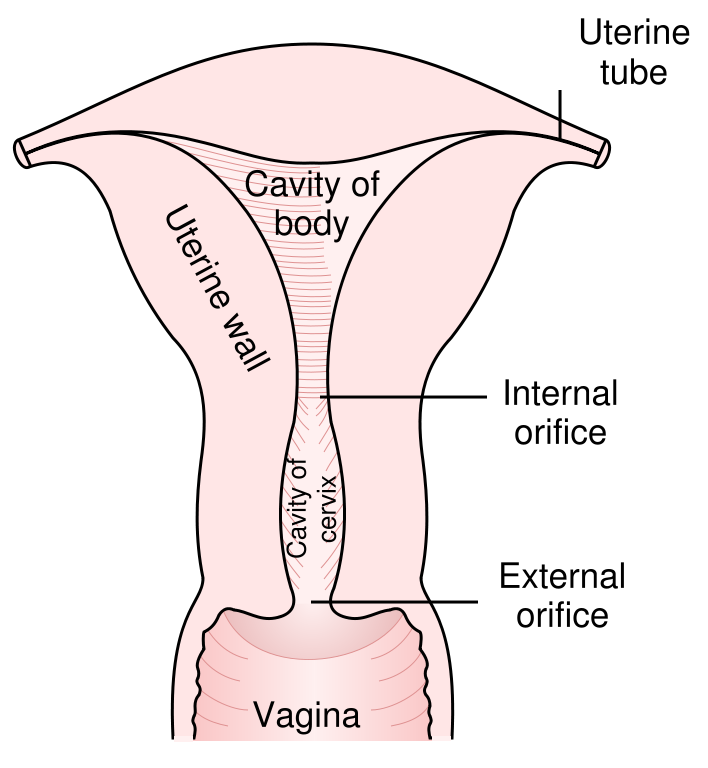 Diagram of the uterus and part of the vagina medical uni work diagram of the uterus and part of the vagina ccuart Image collections
