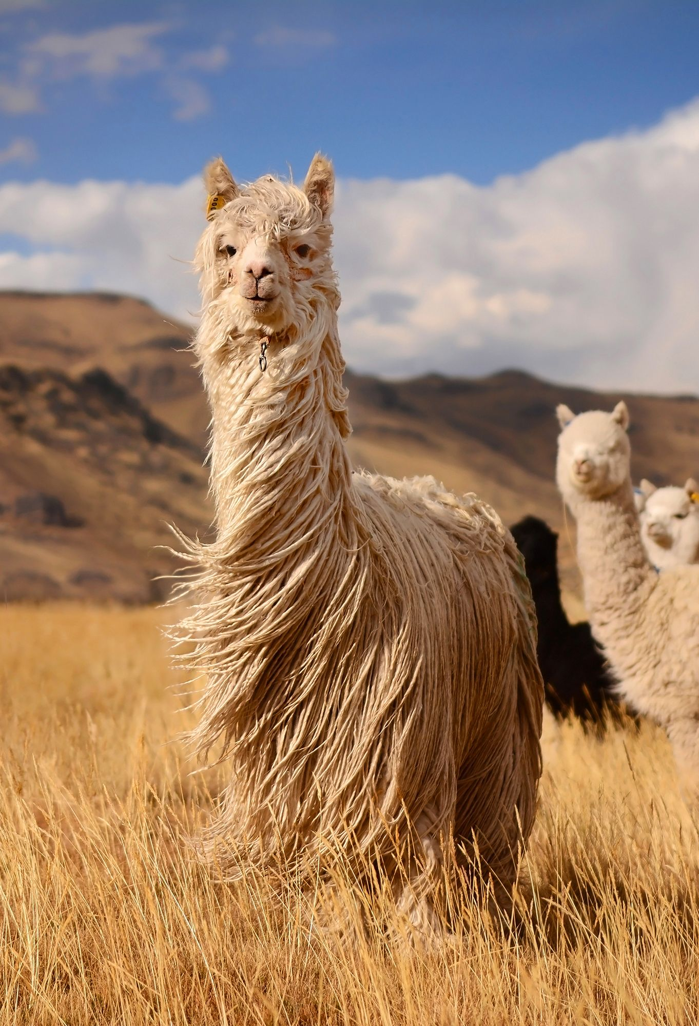 Long Hair Llamas Andes Mountains Peru S