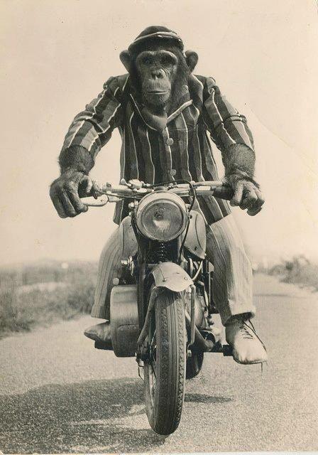 Monkey Motorcycle With Images Monkey Art