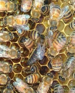 3 Bee Honey | Bees Beekeeping Queens Queen Bee Beekeeping Supplies  Beekeeping Utah Package Bees Nucs