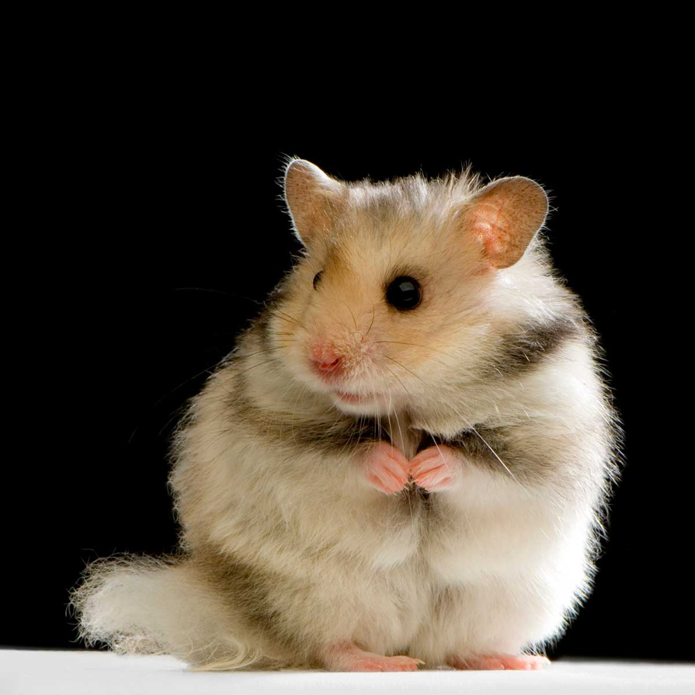 The Ultimate Hamster Breeds Guide Hamsters 101 In 2020 Hamster Breeds Hamster Cute Hamsters