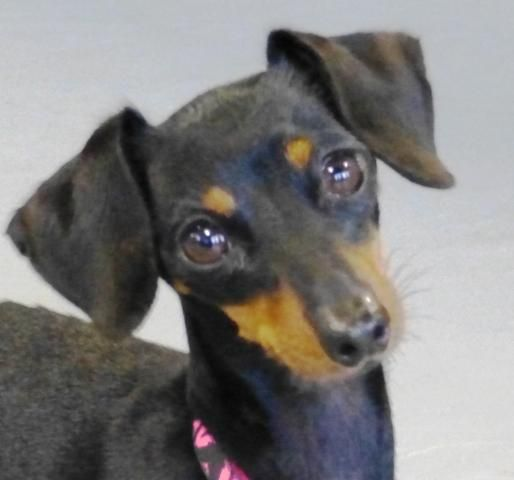 Adopt Piper On Dachshund Miniature Pinscher Pets