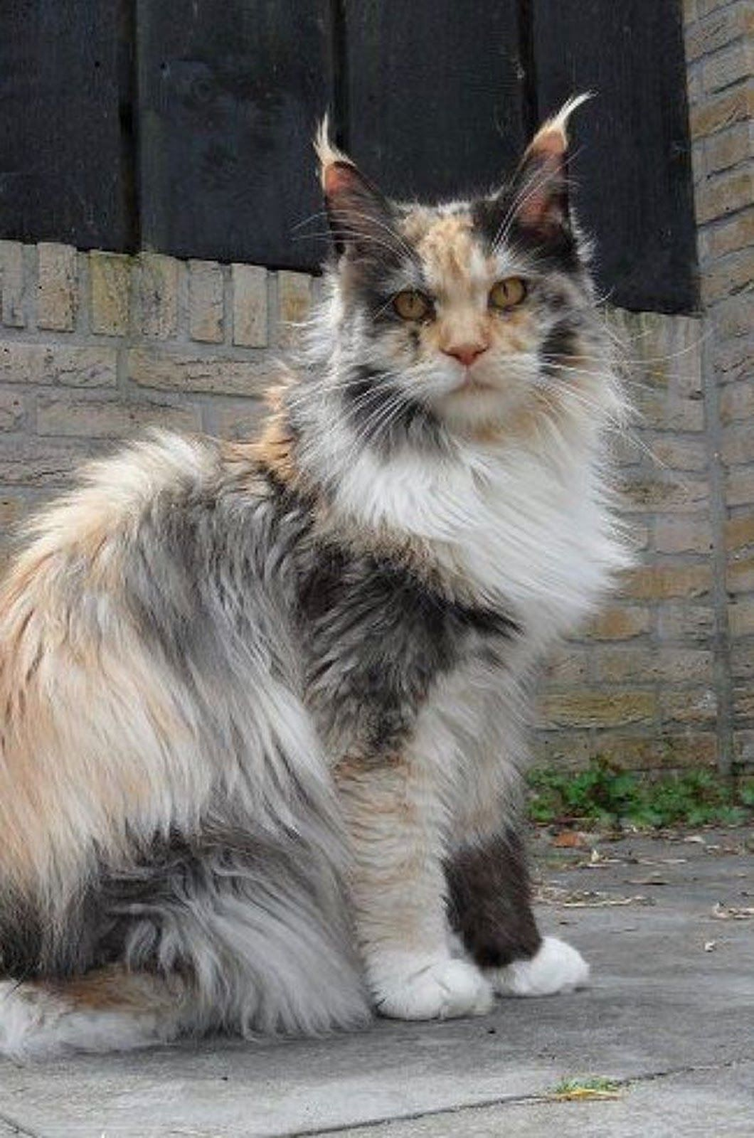 Photo Beautiful Maine Coon Gorgeous Colours Animals Cats