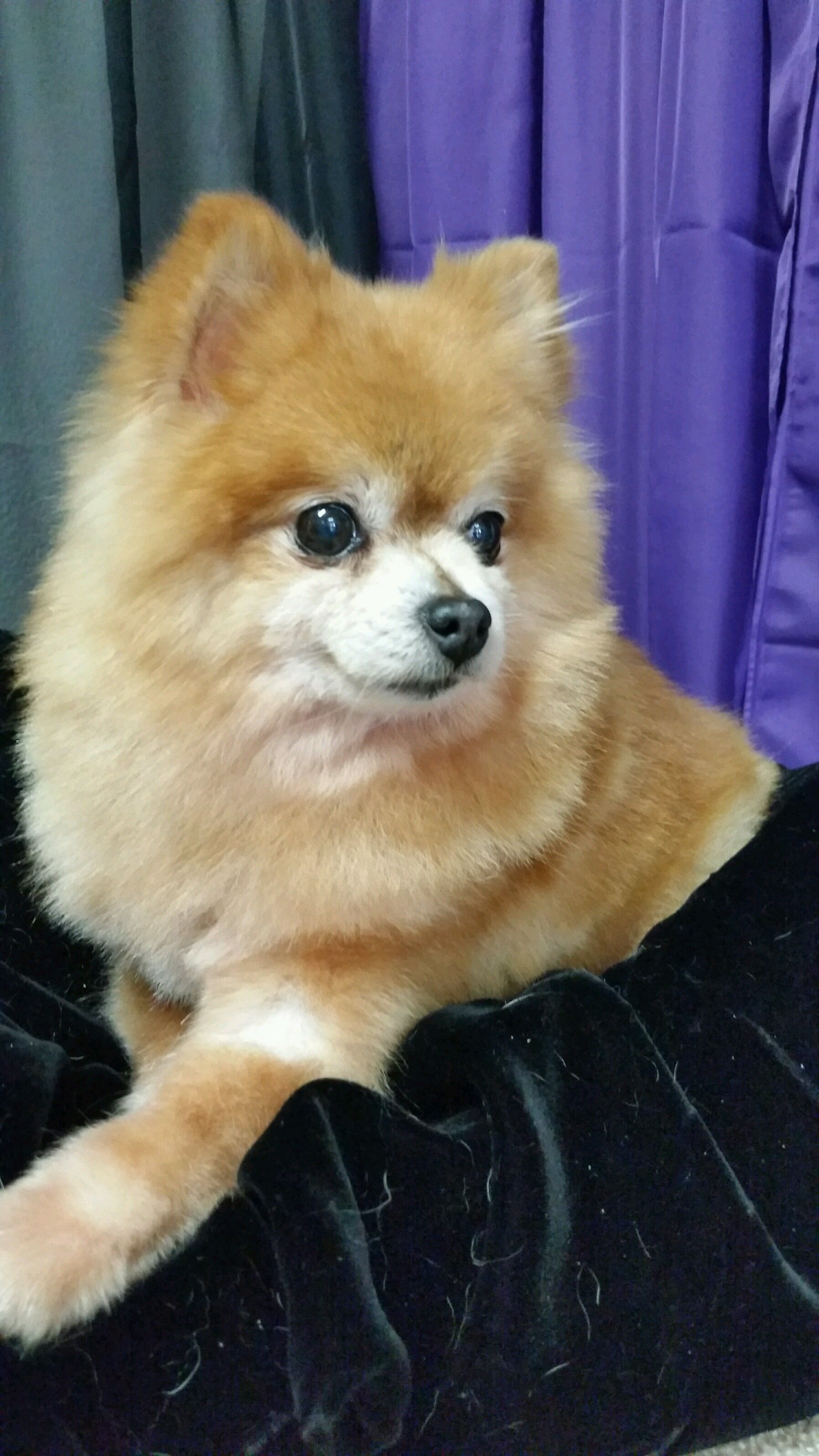 Pomeranian Dog For Adoption In Redding Ca Adn 426782 On