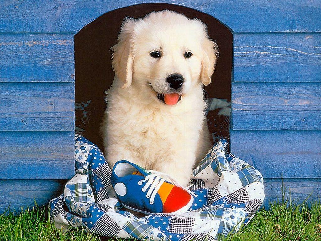 cute golden wallpaper Cute puppy wallpaper, Puppy