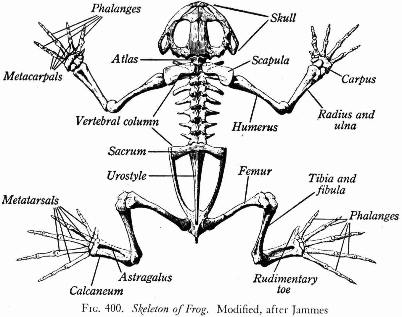 Frog skeleton google search tattoos pinterest frogs and a diagram of the skeleton of a frog looking at how a frogs bone structure is made up and what bones contribute to everyday life ccuart Image collections