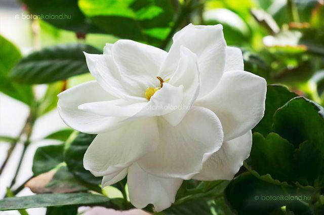 Gardenia Gardenia Jasminoides Gardenia Plant White Flowering Shrubs Gardenia Shrub