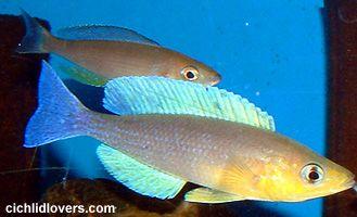 Cyprichromis leptosoma Kigoma  4ebba74c9ba