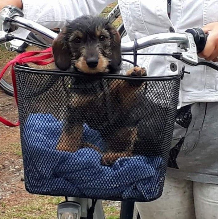 Cute Wirehaired Dachshund puppy on a bike.