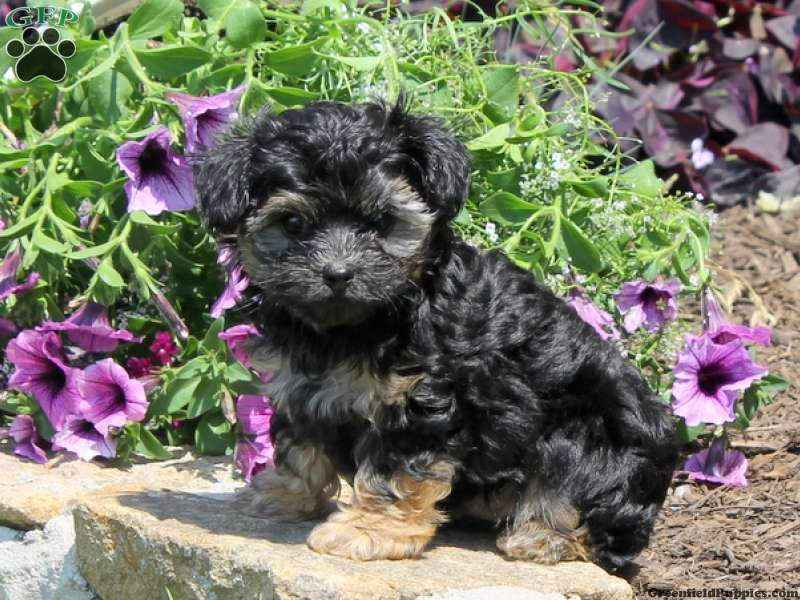 Sparky, Yorkie Poo puppy for sale in Nottingham, Pa If