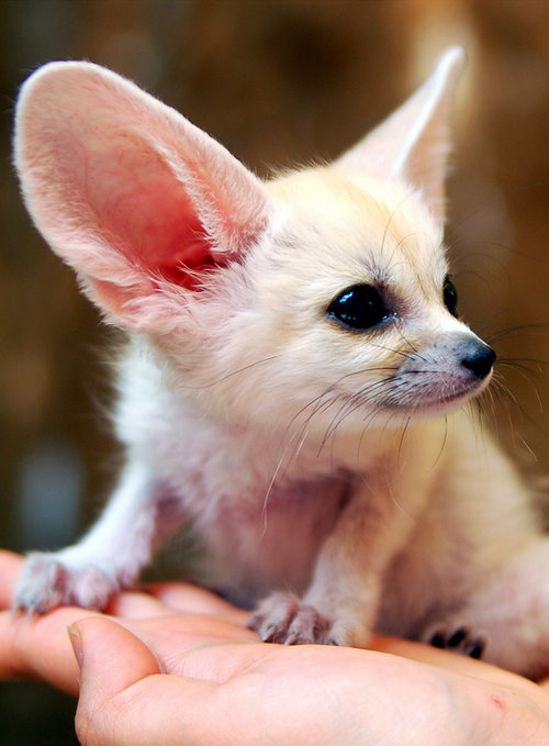 Cute Fangs Feathers Fins By Nae Design Fennec Fox Baby Animals Super Cute Animals