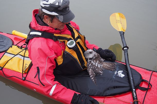 """Man kayaking rescues a Northern Hawk Owl in Finland """"The poor bird tried to make its way inside the man's life jacket for some warmth. It was then taken to shore at a nearby museum, and a museum guide took it home to dry overnight. The next morning all was well and the owl was released back into the wild!"""" #Owl"""