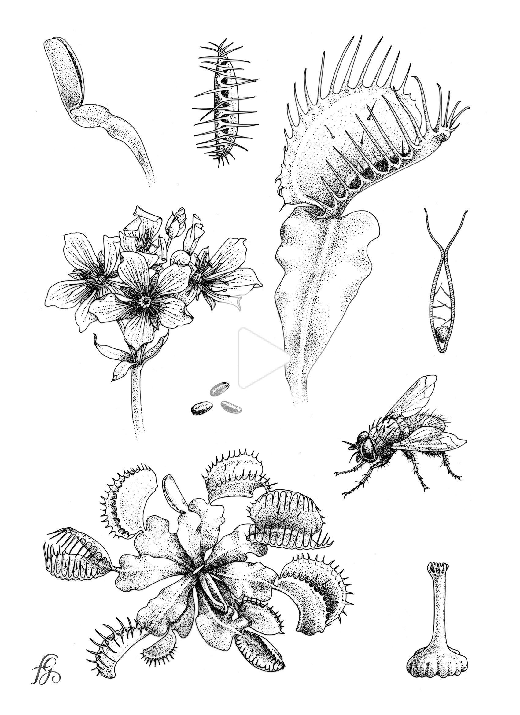 Dionée / plante carnivore in 2020 | Plant sketches, Plant ...