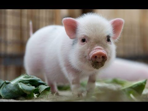 Micro Pig - A Cute And Funny Mini Pig Videos Compilation ...