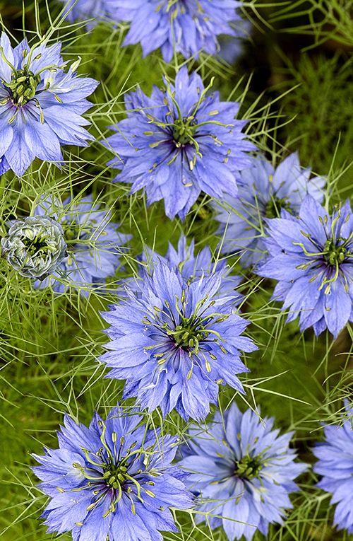 Lotsa Love In A Mist Plants Beautiful Flowers Flower Lover