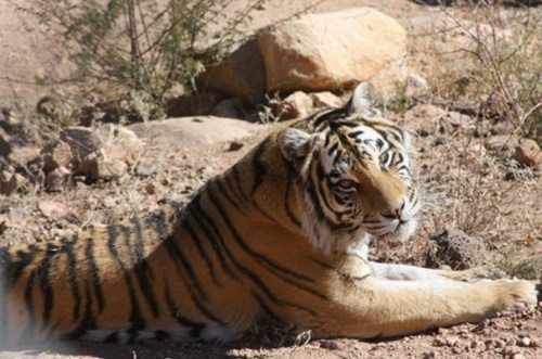Sasha the Bengal Tiger, reared in a Texas breeding facility then sold to a travelleing show. Now living peacefully at Keepers of the Wild © Keepers of the Wild.jpg