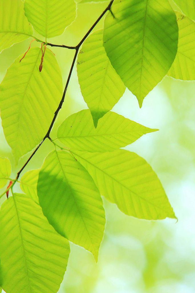 a clear leaf Naturaleza, Verde y Cuadro