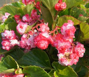 Double Cherry Blossom Wax Begonia Plant Begonia Plants Trees To Plant
